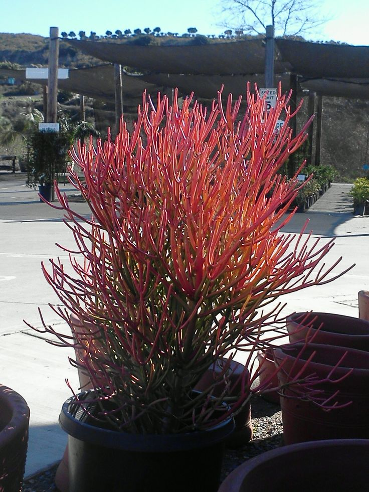 Sticks on Fire! Coral Succulent | Home Landscaping ...
