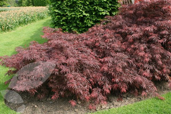 S40 Acer palmatum var. dissectum 'Garnet' Japanese maple A pretty little tree, this has feathery, garnet-coloured leaves that turn bright scarlet in autumn and look as if they have been shredded. Its rounded, compact habit makes it a perfect focal point for a small garden. It needs a sheltered spot, away from strong winds or scorching sun.