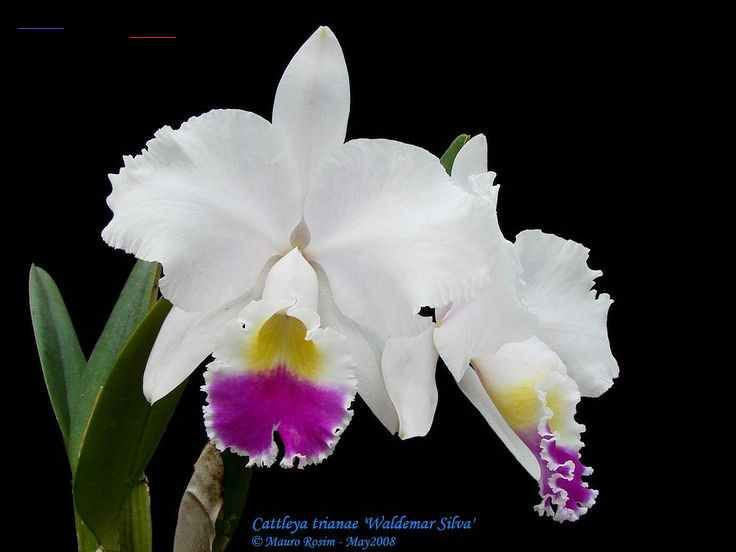 Download Free Cataleya Colombian Flower Tattoo Pin Cattleya Trianae Tattoo Trinae To Use And Take To Your Artist Br In 2020 Cattleya Flower Tattoo Orchid Photo