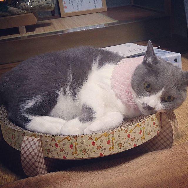 あたしは心が広い。  こんな物を着けられたって、 怒ったりはしない(: °᷅ ꈊ°᷄ ::)))プルプル ꙳ ꙳ ꙳ #うちのねこ  #愛猫 #家猫 #飼い猫  #ねこのきもち #ねこのつぶやき #ねこのひとりごと #あきらめる猫 🐈🐈🐈🐈🐈🐈🐈🐈🐈🐈🐈🐈🐈🐈🐈🐈🐈🐈 ꙳ こんなバカな事ばっかりして かーちゃんには、いつかバチが当たると、 あたしは常日頃から思っていました😾💨 ꙳ 🐈🐈🐈🐈🐈🐈🐈🐈🐈🐈🐈🐈🐈🐈🐈🐈🐈🐈 #どうやらバチが当たったようだ #昨夜から #お腹痛い #トイレに籠城 #定期的に襲う腹痛の波 #腹痛の経験あまりないから #この波にうまくのれない #痛みのピークの時 #ヒッヒッフゥ〜って言ってた #お産か #ヒッヒッフゥ〜