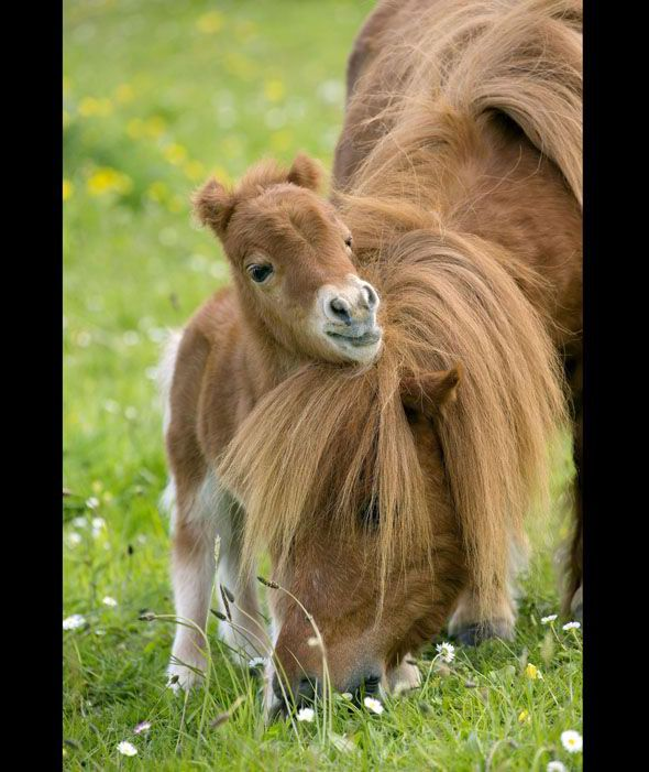 Shetland Pony - mother and foal