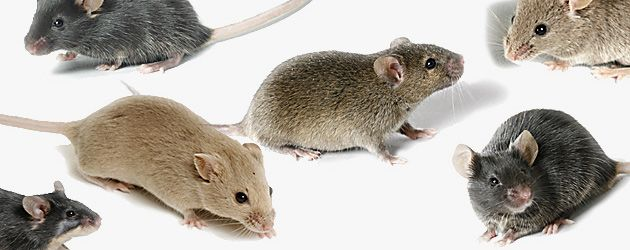 mice | Specially Bred Mice May Hold Keys to Personalized Medicine