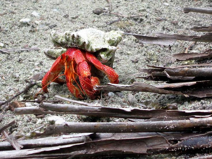 Red hermit crabs are often seen on Direction Island, Cocos (Keeling) Islands. As the crab grows larger it swaps its shell.