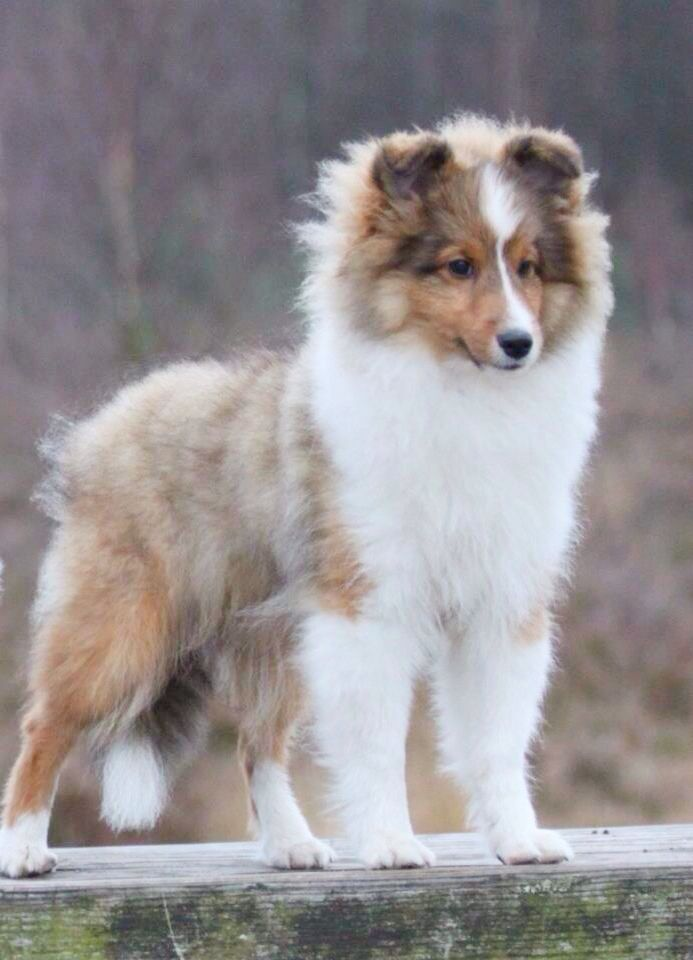 Shetland Sheepdog ~ USA Type   'CasidiTeam {FCI} Unreal Beauty' ~DUKE~  Caentoo Shelties
