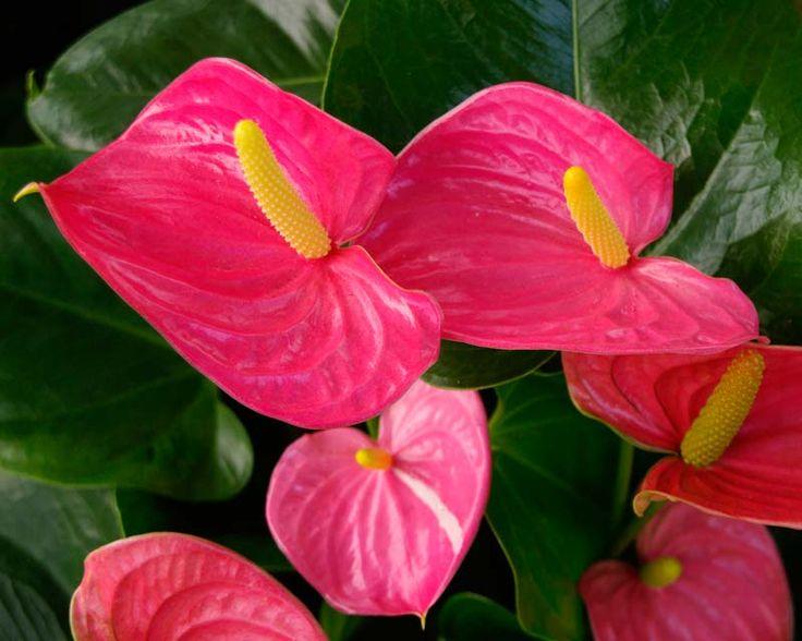 Nombre científico o bien latino: Anthurium andreanum, Anthurium scherzerianum Nombre común o bien vulgar: Anturio, Capotillo Familia: de las Araceae