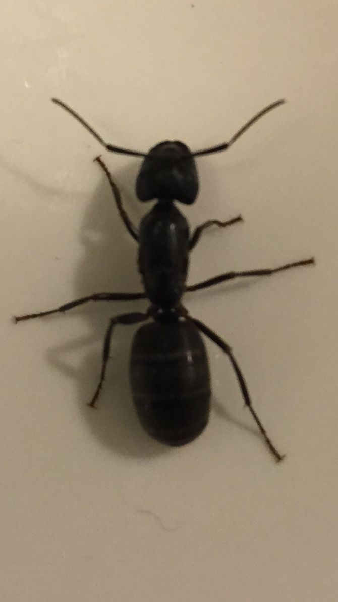 Carpenter Ants Are Exceptionally Common, Exceptionally Destructive Pests.  Left Unchecked, A Carpenter Ant