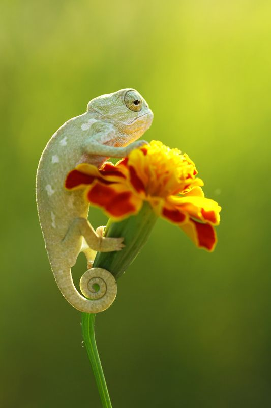 Chameleon--'Now that I am atop this flower, I am hoping to snag some insect snacks...'