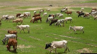 Butchers' association desires FG to permit cattle free access into Nigeria  Whatsapp / Call 2349034421467 or 2348063807769 For Lovablevibes Music Promotion   The Nigerian Butchers Association on Monday asked the Federal Government to allow cattle free access into the country to allow for bountiful availability of meat and meat products in Nigerian markets.  Alhaji Asimiyu Tela Chairman Ondo State Chapter of the association said this during an interview with the News Agency of Nigeria (NAN)…