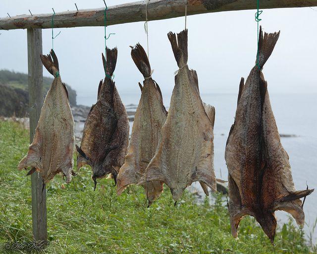 Drying Cod in Newfoundland.