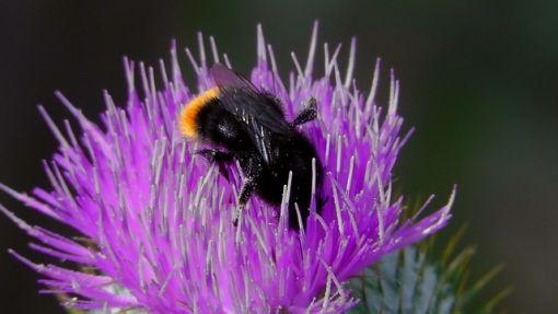Ajánljuk: Csak segítenek - Földi poszméh, http://kertinfo.hu/csak-segitenek-foldi-poszmeh/, ezekben a témakörökben:  #Méhészet, írta: Szépzöld