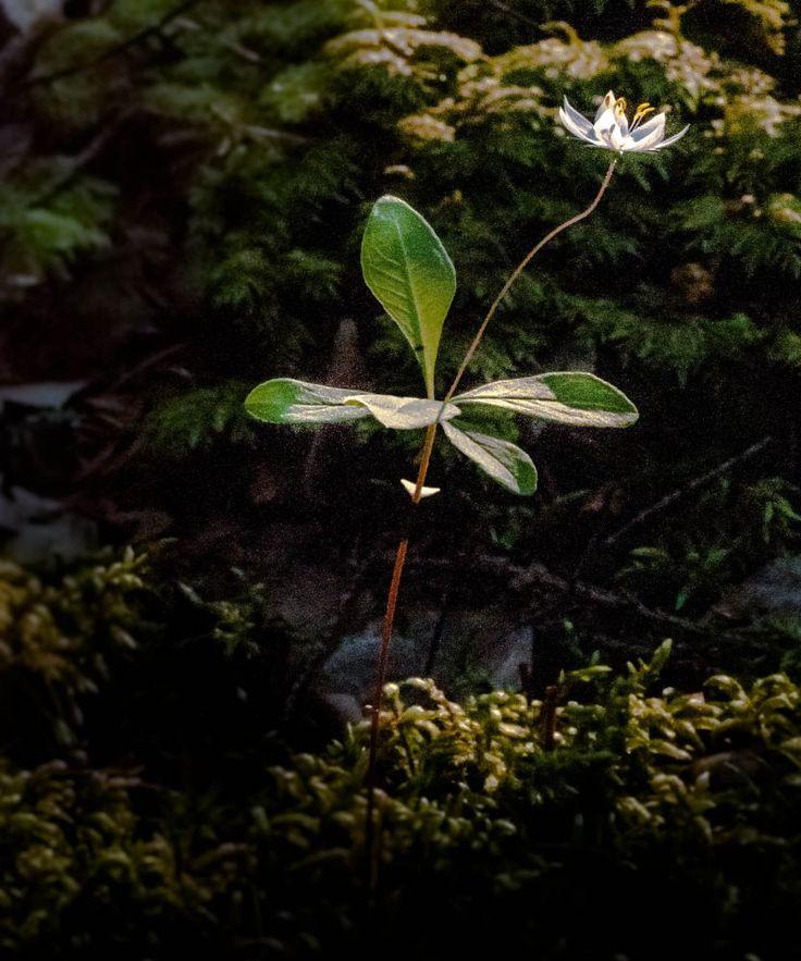 Arctic Starflower - Trientalis europaea - Metsätähti by Pauliina Kuikka