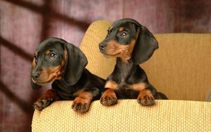 mini ature dachshunds | Miniature Dachshund Puppies Wallpapers - Puppy Miniature Dachshund ...