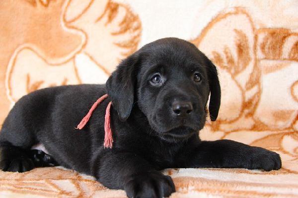 子犬の紹介:ラブラドール・レトリバー ブラックの女の子