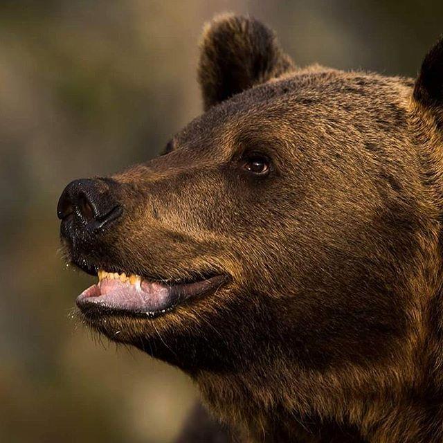 A close meeting with a Brown bear  #bjørn #brunbjørn #finland #splendid_animals #brownbear #nikon #nikonambassador #nikonnordicambassador #nikonphotography #naturelovers #nikon_norway #nikon_sweden #marvelshots #master_pics #master #igscwildlife #nikontop #elite #WildlifePlanet #wwf #worldcaptures #wwf #ic_animals #insta_global #naturelovers #natureelite #md_animals #eXclusive_animals #ig_discover_wildlife