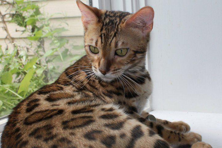 Bengal Cats Bengal Kitten Bengal Cat Hybrid Cat