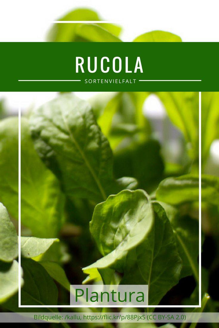 Die zahlreichen Rucola Sorten unterscheiden sich hauptsächlich in Aussehen, Größe, Herkunft und Erntezeit. Auf Plantura haben wir ein paar bekannte und bewährte Sorten zusammengestellt, die gut in unseren Breiten gedeihen. Die Wahl der richtigen Sorte liegt zwischen Wild Rauke und Salatrauke.