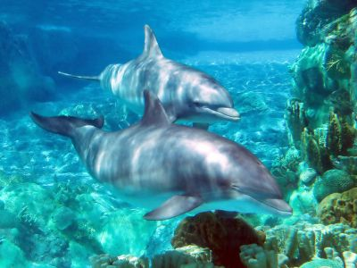 Pictured are a pair of dolphins. Palm Beach Atlantic University is one of few Christian institutions to offer a biology concentration in marine biology.