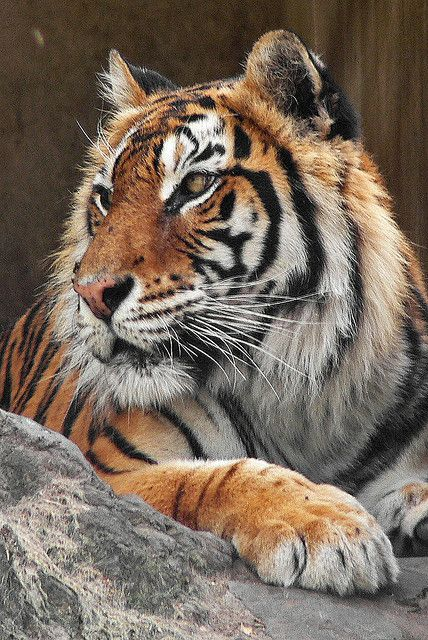 ONE OF THE MOST REGAL AND IMPOSING OF ANIMALS Tiger | Flickr - Photo Sharing!