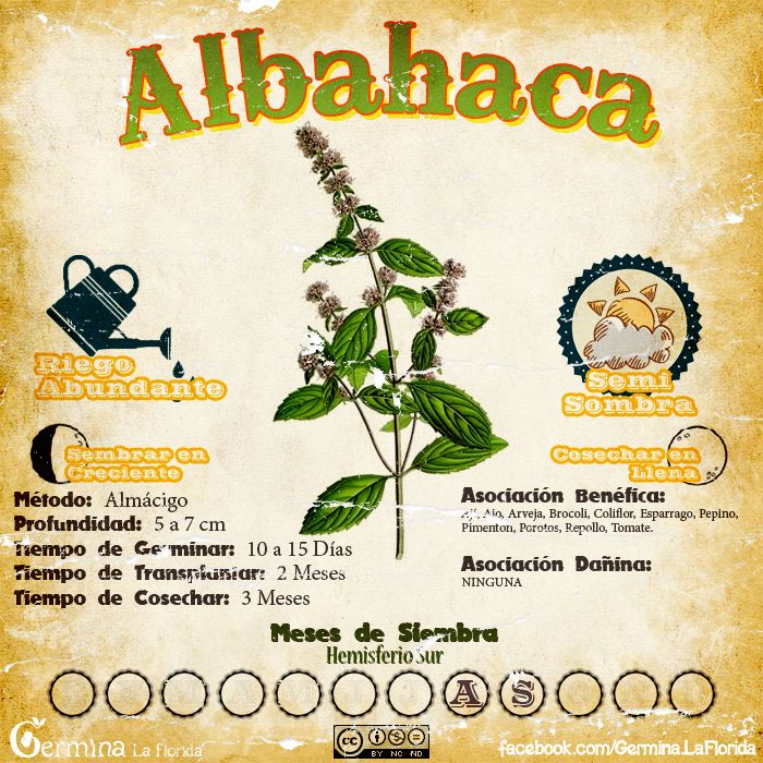 Albahaca2.jpg (700×700)
