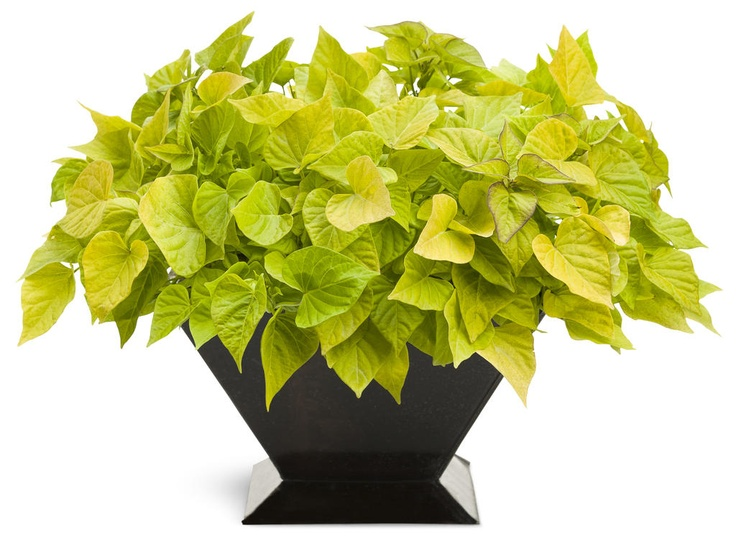Ipomoea Sweet Caroline Sweetheart Light Green (Sweet Potato Vine)