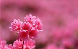Rhododendron, Blütenstand, rosa Blütenblätter, Frühling