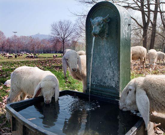Toro e pecore!...