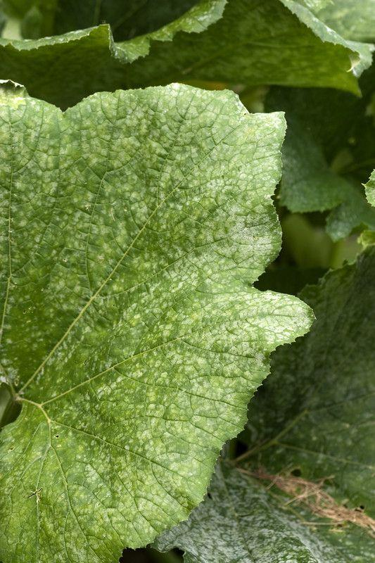 Mehltau schwächt die Pflanze drastisch