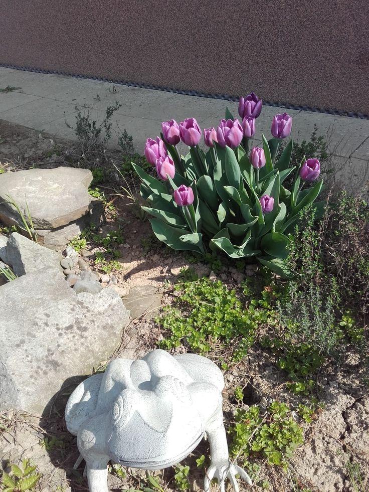 Tulipány u minijezírka - polovina dubna 2018.