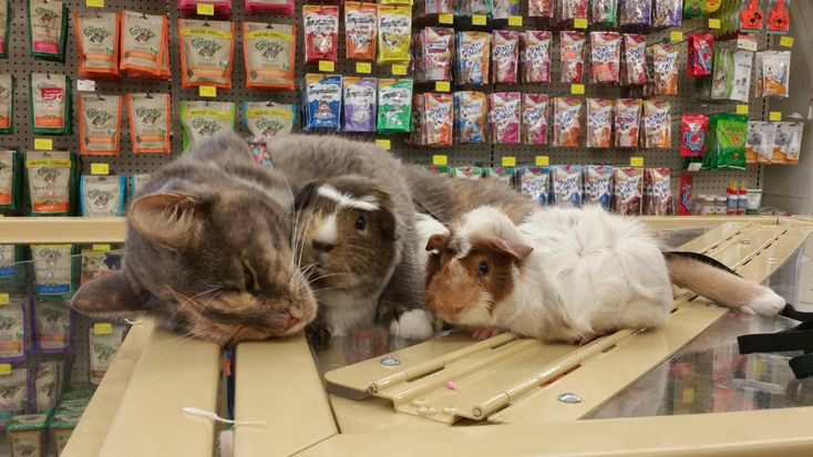 Met a cat in Pet Supermarket who absolutely adores guinea pigs - more at megacutie.co.uk
