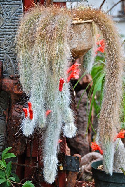 Strange and so pretty! ~ Monkey Tail Cactus