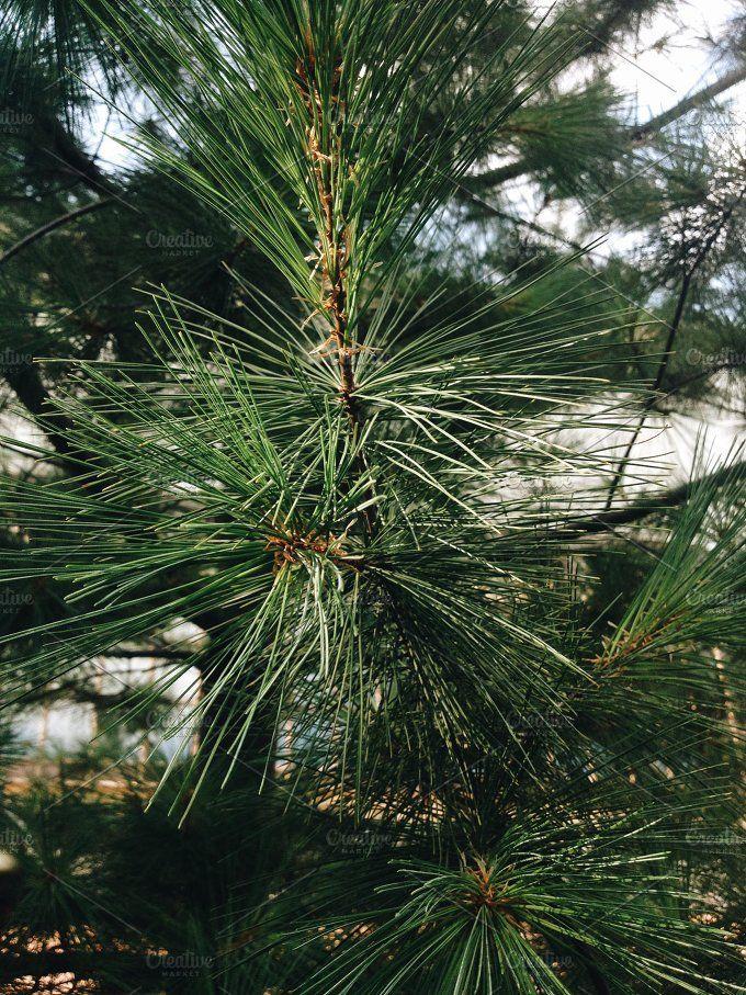 Pine tree by NataliaGubinaPhotography on @creativemarket