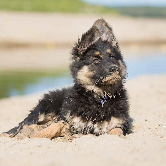 Gsd Puppy German Shepherd Dogs Dogs Dog Breeds