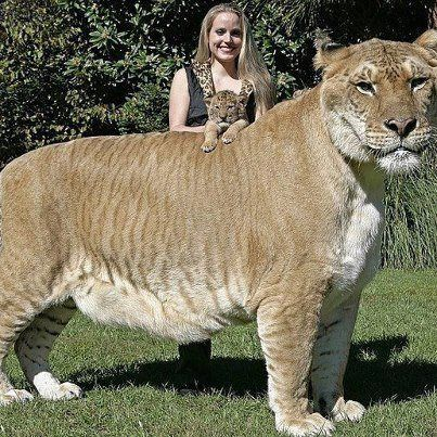The Liger. A tiger and a lion missed. This animal is like Goliath! When did time…