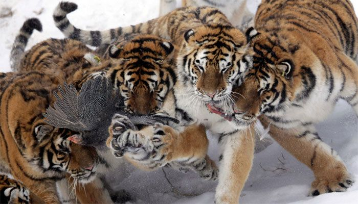 Siberian tiger population at China's park up by 105 this year ...