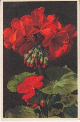 Thor E Gyger Postcard - 675 Pelargonium zonale, Geranium, Géranium, Geranio