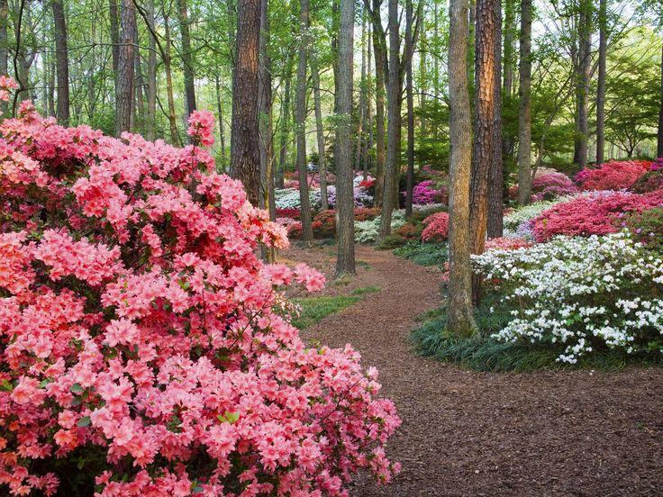 24 Best Potentilla Varieties Images On Pinterest Perennials Plants And Beautiful Flowers