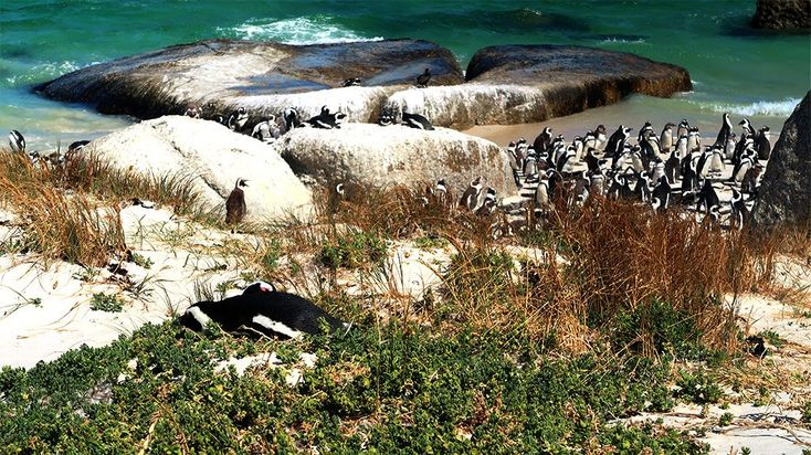 Things to do in Cape Town - Boulders Beach Penguins Cape Town