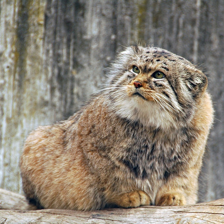 Manul ~ Pallas Cat