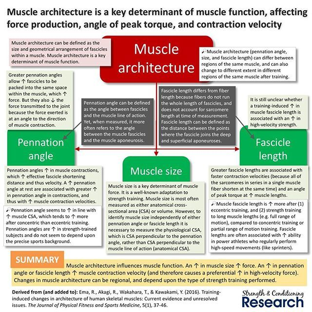 best 25+ muscle function ideas on pinterest | physical therapy, Muscles