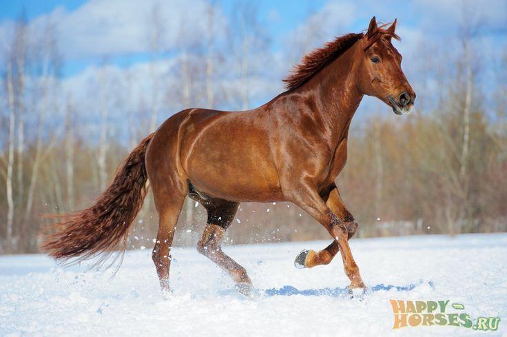 Буденовская порода Использование: спортивная порода. Задействована во многих дисциплинах. Буденновская порода занимает 3 место по количеству среди спортивных лошадей. Также используется для верховых прогулок.