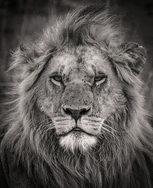 Best Lion Images On Pinterest Big Cats King And Lions - Captivating black and white animal portraits by antti viitala
