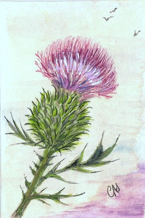 scottish-thistle-drawing.jpg (461×693)