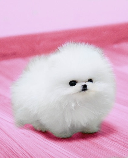 22 best Fluffy dogs images on Pinterest | Cute dogs, Cute ...