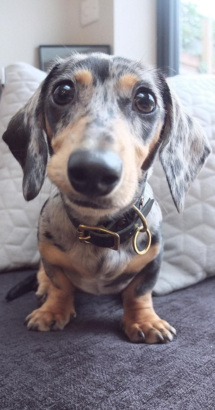 Top Funny Moments Showing That Dachshunds Are The Cutest Dogs En