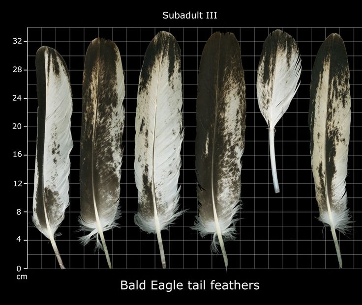 Bald eagle feathers