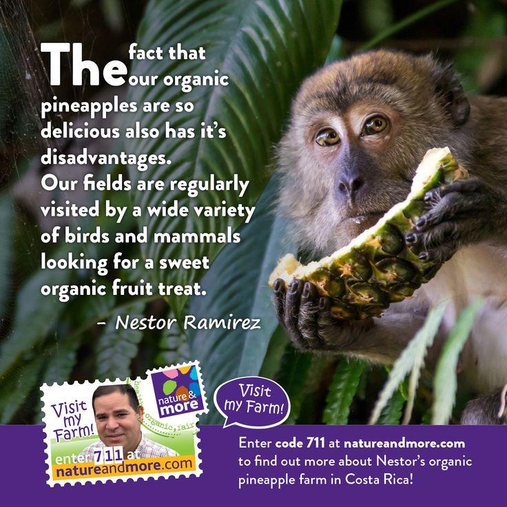 #organic #natureandmore #code711 #pineapples #nestorramirez #summertime