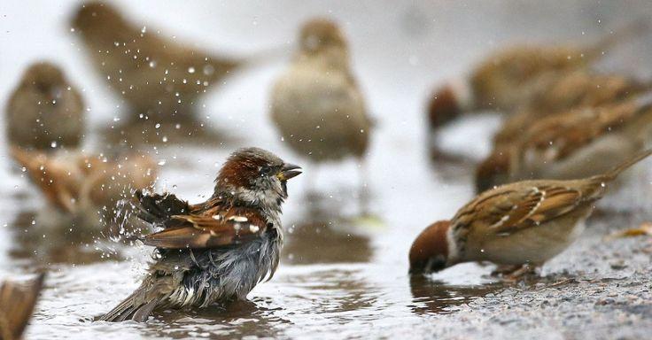 Pardais lavam-se e bebem água de uma poça na vila de Vits, no Belarus