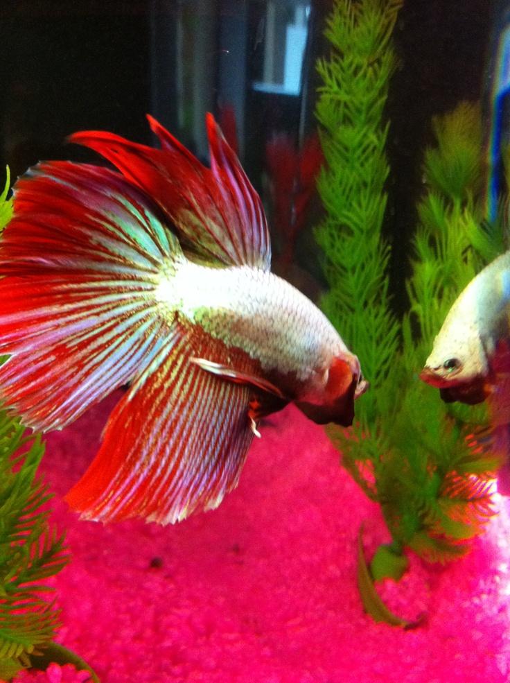 98 best betta friends images on pinterest beautiful for Betta fish friends