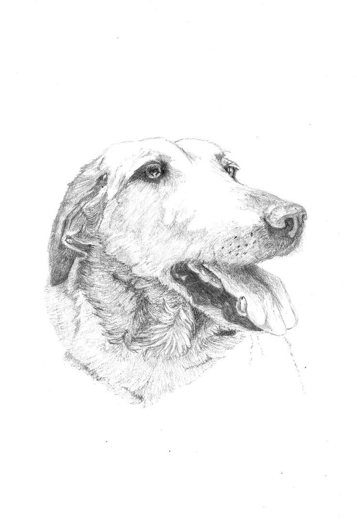 Golden Retriever  Print, art, drawing $25 ww.petsbypencil.co.nz