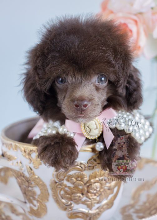 Adorable chocolate Poodle puppy for sale  www.TeaCupsPuppies.com